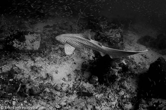 Leopard Shark at 8 Mile Rock